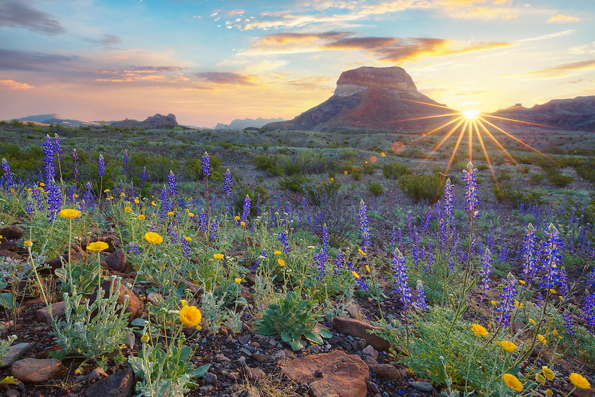 Springtime Bluebonnets bloom in Big Bend National Park. This image was taken in the early morning as the sunlight streamed across the desert floor and the nearby Chisos Mountains of Texas.