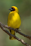 Ruppell s Weaver, Ploceus galbula, Lake Langano, Ethiopia, male perched on branch, yellow, masked face.Africa....