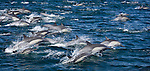 Numbering over five hundred, a school of common dolphins plays alongside our boat in the Sea of Cortez. This recreation lasted for well over an hour. The Sea of Cortez receives more sunlight than any other ocean on earth, resulting in one of the world's richest marine environments, rife with dolphins, whales, and birds.