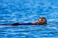 Picture of southern sea otter or California sea otter, Enhydra lutris nereis, feeding on Dungeness crab, Cancer magister, endangered species, Moss Landing, Elkhorn Slough, Monterey Bay, California, North East Pacific Ocean
