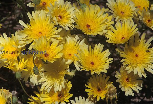 Desert Dandelion spring wildflowers (Malacothrix glabrata), Mojave Desert, California, USA.