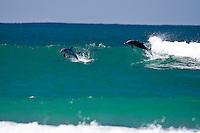 Dolphins surfing at DURANBAH BEACH, Australia ,   Photo: joliphotos.com