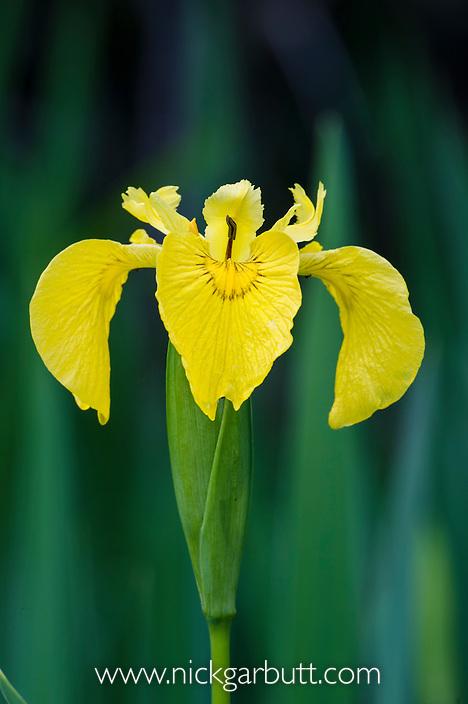 Yellow Flag Iris or Water Flag Iris (Iris pseudacorus). Isle of Ulva, Isle of Mull, Scotland.