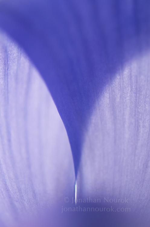 close-up of a blue iris flower