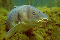 Common Carp, Lake Michigan<br />