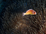 Orchid Island, Taiwan -- A lone pink anemonefish is guarding its anemone on the Ba Dai ship wreck.<br />