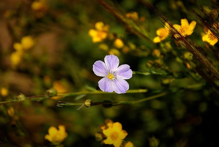 Wildflowers (Carson Pass)