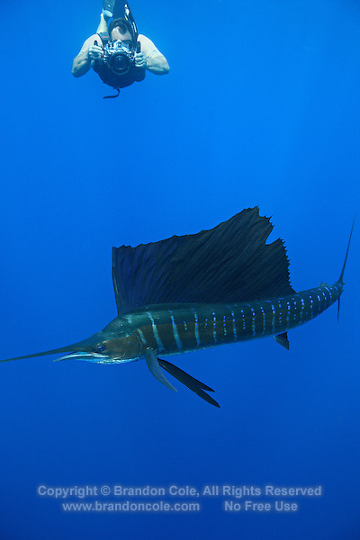 qh0564-D. swimmer takes underwater photographs of Atlantic Sailfish (Istiophorus albicans). Some consider this to be the same species as the Indo-Pacific Sailfish (I. platypterus). Mexico, Gulf of Mexico..Photo Copyright © Brandon Cole. All rights reserved worldwide.  www.brandoncole.com..This photo is NOT free. It is NOT in the public domain. This photo is a Copyrighted Work, registered with the US Copyright Office. .Rights to reproduction of photograph granted only upon payment in full of agreed upon licensing fee. Any use of this photo prior to such payment is an infringement of copyright and punishable by fines up to  $150,000 USD...Brandon Cole.MARINE PHOTOGRAPHY.http://www.brandoncole.com.email: brandoncole@msn.com.4917 N. Boeing Rd..Spokane Valley, WA  99206  USA.tel: 509-535-3489