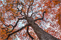 Wandering through Lost Maples State Park in November is a breathtaking experience. On weekdays when the winds are calm and the crowds are sparse, you feel as though you have the place to yourself. In this image, I ended up laying on my back to shoot up into the reds of this old maple tree on a cold, crisp afternoon.