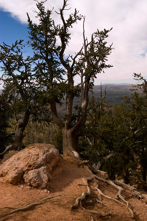 Bristlecone pine tree in Dixie National Forest, Utah, UT, Bristlecone Pine Trail, pine tree, ancient, arid, Southwest America, American Southwest, US, United States, Image ut394-18610, Photo copyright: Lee Foster, www.fostertravel.com, lee@fostertravel.com, 510-549-2202