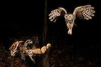 an eastern screech owl flying towards a mouse