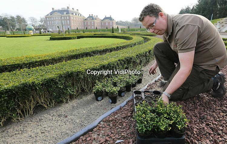 """Foto: VidiPhoto..APELDOORN - Robert Rozenboom, tuinman van Paleis Het Loo, bekijkt en verwerkt de eerste van in totaal 80.000 Ilex-planten in de tuinen van het paleis in Apeldoorn. De beroemde buxustuin werd enkele jaren geleden getroffen door een schimmel die de struikjes liet verdrogen en afsterven. De nieuwe Ilex-planten, de Japanse hulst, zijn resistent tegen schimmels en lijken sterk op buxus. Naar verwachting is deze tuinrenovatie van Paleis Het Loo eind mei voltooid. Kwekerscollectief Ilex Select is verantwoordelijk voor de levering van de Ilex-planten. Kweker en woordvoerder namens Ilex Select Ronald Stolwijk: """"Na jaren van uitgebreid onderzoek op locatie is Ilex crenata Dark Green als beste getest. Wij zijn erg trots dat deze Ilexsoort zo'n prominente rol krijgt in de tuinen van Paleis Het Loo."""" Foto: Op de achtergrond de zieke buxus.."""