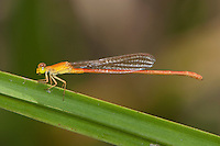 Pond-Damsel male Damselfly (Ceriagrion glabrum), South Africa