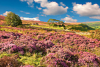 Heather blooming on the Fryup Dale moor. North Yorks National Park, North Yorkshire, England