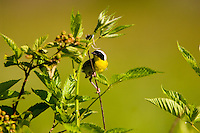 Common Yellowthroat, Geothlypis trichas, near the nest