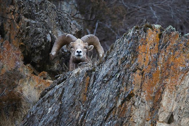 Bighorn Sheep ram on rocky cliff side in Montana