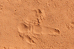 Emu footprint on red outback soil. The Emu (Dromaius novaehollandiae) is the largest bird native to Australia. It is the second-largest extant bird in the world by height, after its ratite relative, the ostrich.