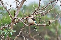 Brown-hooded Kingfisher, Mkuze Game Reserve, SA