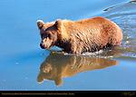 Alaskan Coastal Brown Bear Crossing Silver Salmon Creek, Lake Clark National Park, Alaska