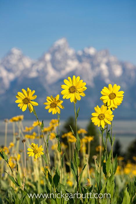 Balsamroot (Balsamorhiza sagittata) growing en-mass with the Grand Teton mountain range in the background. Grand Teton National Park, near Jackson Hole, Wyoming, USA. June