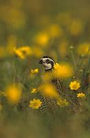 Northern Bobwhite, Colinus virginianus,male in wildflowers, Rio Grande Valley, Texas, USA