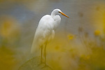 A Great Egret stands on a rock in one of the Venice Beach canals near a patch of blooming yellow daisies in early spring