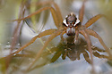Raft Spider male {Dolomedes fimbriatus} resting on the surface of a moorland pool. Nordtirol, Austrian Alps, June.