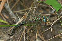 339650005 a wild female swamp darner epiaschna heros a very large dragonfly species lays her eggs or oviposits in wet marshy soil in a bog in the angelina national forest in jasper county texas