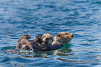 Sea otter carries pup as it swims in Ester Passage in Prince William Sound, Alaska.