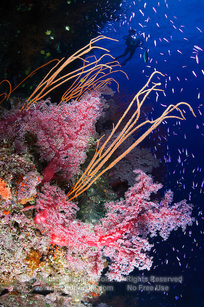 qe0599-D. soft corals (Dendronephthya sp.), sea whips (Ellisella sp.? Ctenocella sp.?), and purple anthias fish (Pseudanthias spp.). Fiji, tropical Pacific Ocean..Photo Copyright © Brandon Cole. All rights reserved worldwide.  www.brandoncole.com..This photo is NOT free. It is NOT in the public domain. This photo is a Copyrighted Work, registered with the US Copyright Office. .Rights to reproduction of photograph granted only upon payment in full of agreed upon licensing fee. Any use of this photo prior to such payment is an infringement of copyright and punishable by fines up to  $150,000 USD...Brandon Cole.MARINE PHOTOGRAPHY.http://www.brandoncole.com.email: brandoncole@msn.com.4917 N. Boeing Rd..Spokane Valley, WA  99206  USA.tel: 509-535-3489