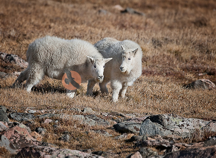 Pair of Mountain goat Kids along the Bear Tooth Highway in Montana