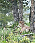 A bighorn ram takes an afternoon nap in northern Yellowstone National Park, Wyoming