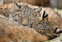 NWA Democrat-Gazette/BEN GOFF -- 03/09/15 Bobcats Dillian (left) and Sadie nap in their habitat at Turpentine Creek Wildlife Refuge near Eureka Springs on Monday Mar. 9, 2015.