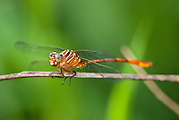 341730004 a wild female narrow-striped forceptail aphylla protracta perches on a small twig at santa ana national wildlife refuge in the rio grande valley of south texas