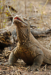 A Komodo dragon strikes a menacing pose. The world's largest lizard -- reaching 2 to 3 meters in length and weighing up to 150 kg, would have been drawfed by the largest dragons in hobbit times.