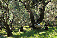 Goats tethered in olive grove among olives trees in Corfu, Greece