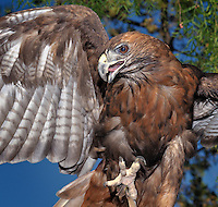 Red-tailed Hawk (Buteo jamaicensis), captive.