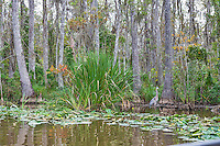 I really like this capture of the swamp with lilly pads and blue heron along with the cypress trees in the background.   It just says swamps of Lousiana