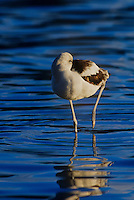 506858013 a wild american avocet recurvirostra americana sleeps in a shallow lagoon along the pacific coast in santa barbara county california