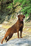Chessapeake Bay Retriever<br /> <br /> <br /> Shopping cart has 3 Tabs:<br /> <br /> 1) Rights-Managed downloads for Commercial Use<br /> <br /> 2) Print sizes from wallet to 20x30<br /> <br /> 3) Merchandise items like T-shirts and refrigerator magnets