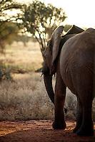 African elephant in Tsavo National Park.