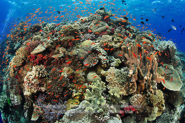qe0038-D. a vibrant, busy coral reef. many species of hard and soft corals. a cloud of Scalefin anthias (Pseudanthias squammipinnis) fish swarming about. Fiji, tropical Pacific Ocean..Photo Copyright © Brandon Cole. All rights reserved worldwide.  www.brandoncole.com..This photo is NOT free. It is NOT in the public domain. This photo is a Copyrighted Work, registered with the US Copyright Office. .Rights to reproduction of photograph granted only upon payment in full of agreed upon licensing fee. Any use of this photo prior to such payment is an infringement of copyright and punishable by fines up to  $150,000 USD...Brandon Cole.MARINE PHOTOGRAPHY.http://www.brandoncole.com.email: brandoncole@msn.com.4917 N. Boeing Rd..Spokane Valley, WA  99206  USA.tel: 509-535-3489