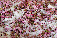 """Salt, cherry blossom, and """"ume"""" plum juice at a processing facility. Matsukawa-city, Nagano Prefecture, Japan, April 26, 2013. Farmers in the Matsukawa area of Nagano prefecture grow yaezakura cherry blossom to be used as an ingredient in Japanese cakes, sweets and other foods."""