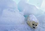 Harp seal pup, Iles de la Madeleine, Quebec, Canada
