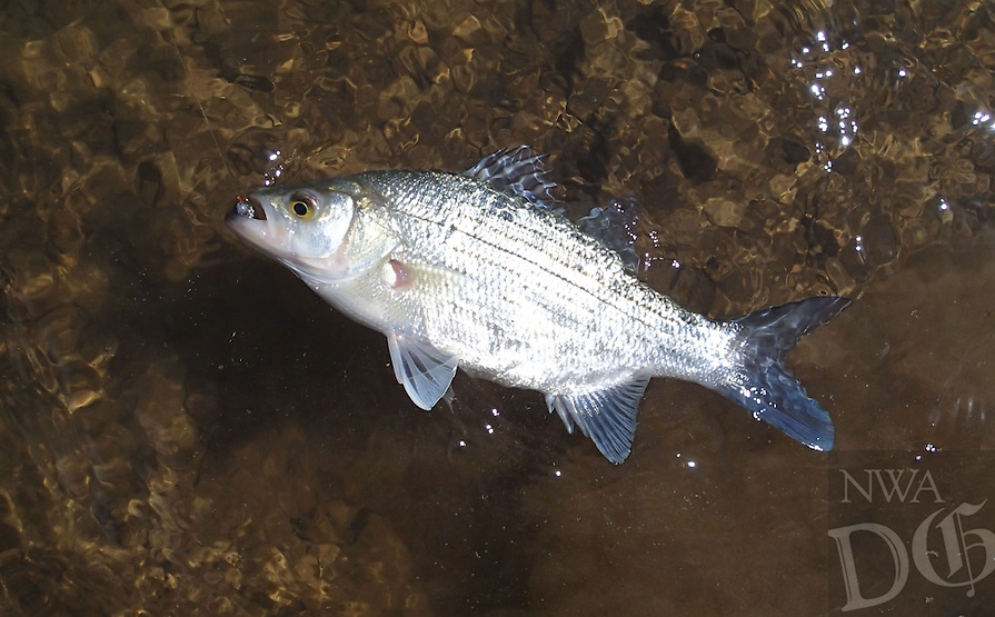 NWA Democrat-Gazette/FLIP PUTTHOFF <br /> Anglers look forward to the spring white bass spawning run from Beaver Lake up the White River. Rain last week has improved the outlook for the white bass run.