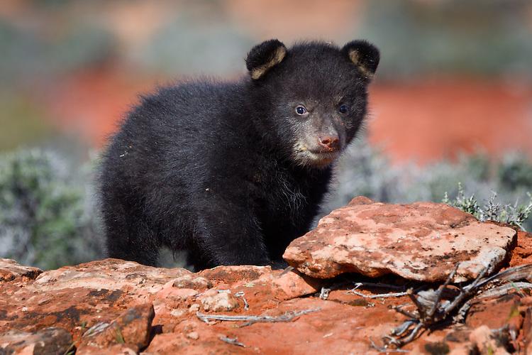 Black Bear cub standing on a rocky hill - CA