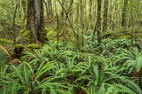 Crown ferns in rainforest on Kepler Track, Fiordland National Park, Southland, World Heritage Area, New Zealand