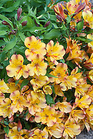 Alstroemeria Princess Ariana ('Zapriari')