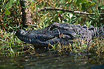 Alligator laying in water.