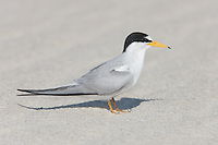 Least Tern (Sternula antillarum), Nickerson Beach, Lido Beach, New York